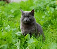 Cat sitting in grass. Horizonatal picture of grey cat sitting in green grass Royalty Free Stock Photography