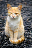 Cat sitting gravel path stone with crossed tails and looking to Royalty Free Stock Photo