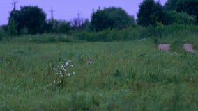 Cat Sitting In Green Grass vermelha Ratos de campo da caça do gato no campo filme