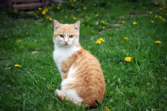 Cat sitting on green meadow Royalty Free Stock Images