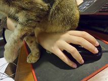 Cat sitting on hand and on computer mouse Stock Photos