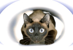 A cat sitting inside paper tonnel. Siamese cat sitting and playing iside white paper tonnel Royalty Free Stock Images
