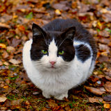 Cat sitting in the leaves Stock Image