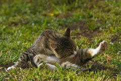 Cat sitting and licking his leg. On green grass Royalty Free Stock Photos