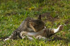 Cat sitting and licking his leg. On green grass Royalty Free Stock Photography