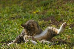 Cat sitting and licking his leg. On green grass Royalty Free Stock Image