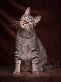 Cat sitting and look up. Tiger Cat sitting and look up with angled head  in Front of a brown background Stock Photo