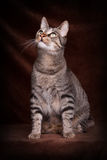 Cat sitting and look up. Tiger Cat sitting and look up in Front of a brown background Stock Photography