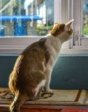 A cat sitting and looking out window stock photos