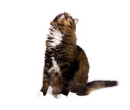 Cat Sitting Looking Upward 2 Royalty Free Stock Images
