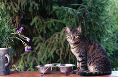 Cat is sitting near its bowl and waits for food Royalty Free Stock Photo