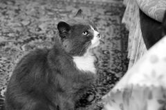 The cat is sitting near the sofa. Black and white photo stock photos