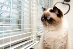 Cat sitting near window blinds Stock Images