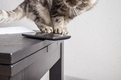 Cat is sitting next to a cell phone, dangerously and carelessly left at the edge of the table. Close-up royalty free stock photography