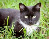 Cat Sitting noire et blanche dans l'herbe verte Photographie stock libre de droits