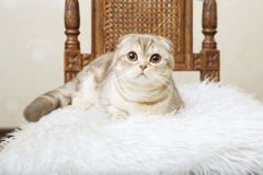 Cat Sitting On A Beautiful Vintage Chair Royalty Free Stock Image