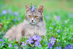 Cat sitting on the periwinkle lawn Royalty Free Stock Photo