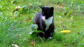 Cat Sitting preto e branco em um gramado verde no verão no movimento lento video estoque
