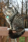 Cat sitting on a rail. Big tom cat sitting on a porch rail showing off huge tail Royalty Free Stock Photos