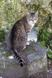 Cat sitting on a rock. Looking at the camera Royalty Free Stock Images