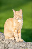 Cat sitting on a rock Royalty Free Stock Photography