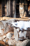 Cat sitting on the roof full pile of logs Royalty Free Stock Photo