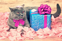 Cat sitting on the rose petals near gift box Royalty Free Stock Image