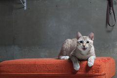 Cat sitting on scratched orange fabric sofa Royalty Free Stock Photography