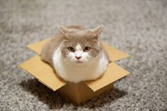 Cat sitting in a small cardboard box and looking towards camera. Cute British shorthair cat in lilac-white sitting in a small cardboard box and looking towards stock photography
