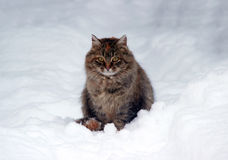 A cat. Sitting in the snow Stock Photography