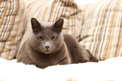 A cat sitting on a sofa looking straight. A cat sitting on a sofa looking into camera Stock Photography