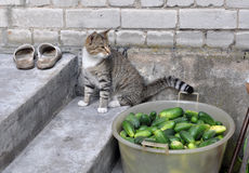 Cat sitting in stairs and cucumbers in a bowl. Small gray cat sitting in stairs near fresh cucumbers in a bowl, with only beds Royalty Free Stock Photography