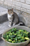 Cat sitting in stairs and cucumbers in a bowl. Small gray cat sitting in stairs near fresh cucumbers in a bowl, with only beds Royalty Free Stock Image