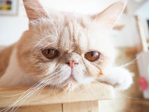 Cat sitting on the table Royalty Free Stock Images