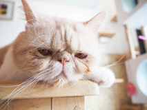 Cat sitting on the table Royalty Free Stock Image