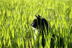 Cat Sitting in Tall Grass. Black and white cat sitting in field of tall Spring wheat grass Stock Photography