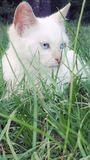 Cat sitting in tall grass. White blue eye kitten looking posing animal pet Stock Images