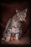 Cat sitting. Tiger Cat sitting and watch testing in Front of a brown background Royalty Free Stock Image