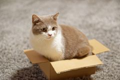 Cat sitting in too small cardboard box. Side view of cute British shorthair cat in lilac-white sitting in too small cardboard box and looking surprised to the royalty free stock photos