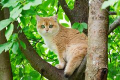 Cat sitting on a tree. Golden British cat with green eyes climbed a tree and sits on a branch among the green leaves looking at th. E camera. Cat on the tree stock photo