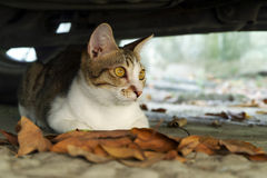Cat Sitting Under Car Lizenzfreies Stockbild