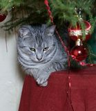 Cat sitting under Christmas tree in natural background Royalty Free Stock Photos