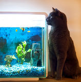 Cat sitting very close staring into fish tank with fish in the t. British Blue cat sitting close to a fishtank, staring into the fish tank, there are 4 yellow royalty free stock photo