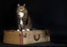 Cat Sitting Vintage Suitcase Stock Photo