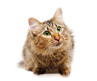 Cat sitting on white background Royalty Free Stock Photography