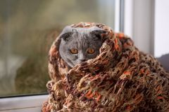 A thoroughbred crochet in a scarf looks out the window at the sun Royalty Free Stock Photo