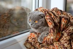 a thoroughbred crochet in a scarf looks out the window at the sun Royalty Free Stock Image