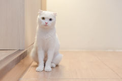 cat sitting on wooden floor Royalty Free Stock Image