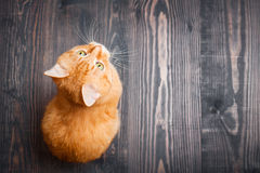 Cat sitting on the wooden floor Stock Photography