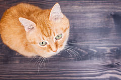 Cat sitting on the wooden floor Royalty Free Stock Photography